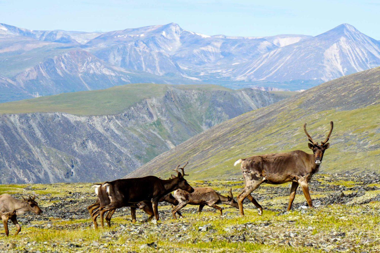Coast-Mountains-yukon-caribou