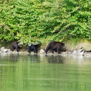 Yukon-river-ours-bear